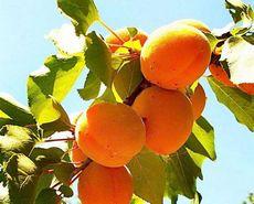 Абрикосы: польза, состав, свойства абрикосов, противопоказания к применению абрикосов