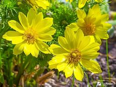 Адонис (горицвет весенний)