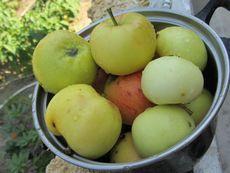 Яблоки: состав, польза и свойства яблок, противопоказания к применению яблок, яблоки в косметологии