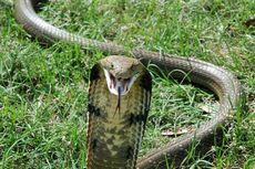 К чему снится кобра нападающая, спокойная, кусающая, мертвая. толкование популярных сонников: к чему снится кобра