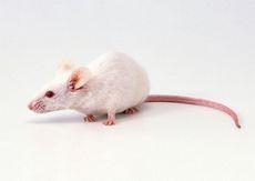 К чему снится мышь маленькая или большая, много маленьких мышей? основные толкования - к чему снятся маленькие мыши