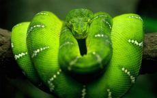 К чему снится змея девушке? плохо это или хорошо? основные трактовки - к чему снится змея девушке: по разным сонникам