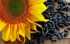 Семечки подсолнуха: состав, польза и свойства подсолнечных семечек