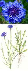 Василек синий. описание и свойства василька синего