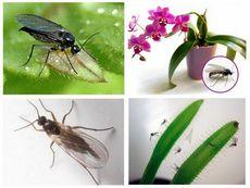 Вредители комнатных растений - грибные комарики. все о грибных комариках и о способах борьбы с ними